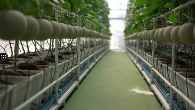 vídeos de stock, filmes e b-roll de a fazenda é plantas japonesas do melão na estufa. - melão musk