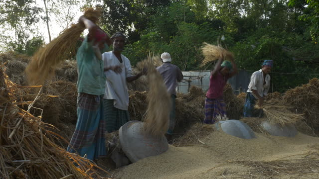 farm labourers in rural bangladesh dressed in colourful saris thresh wheat by hand during the call for prayer from the local mosque  - threshing stock videos & royalty-free footage