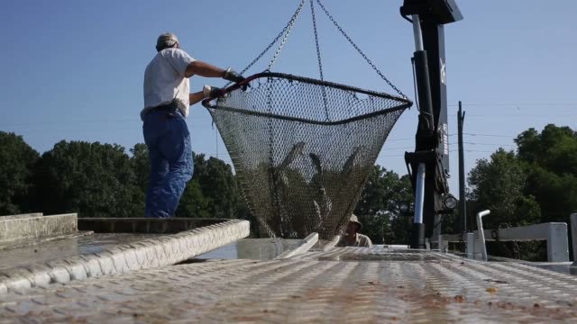 Farm raised catfish are harvested from an aquaculture farm near Uniontown Alabama US on Friday July 10 2015 Shots A large truck equipped with a crane...