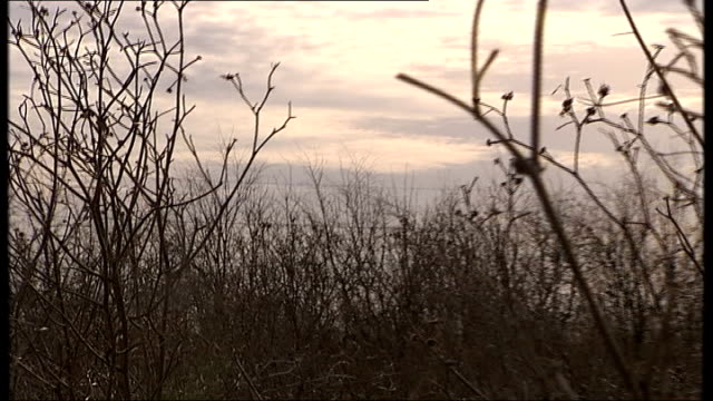 farm set aside proposals; england: east anglia: ext low angle shot of plants in field silhouetted against pink sky ground to air birds flying overhead - east anglia stock-videos und b-roll-filmmaterial