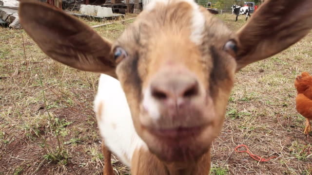 farm visuals - goat stock videos and b-roll footage