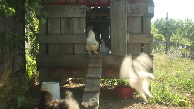 farm visuals - chicken coop stock videos and b-roll footage
