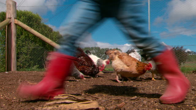 sussex buff orpington wyandotte chickens eating pecking ground in free range coop with wire fence quick shot legs of farm kid walks through shot... - 鶏小屋点の映像素材/bロール
