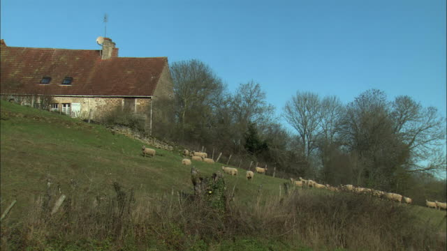 WS Farm with flock of sheep / Burgundy, France