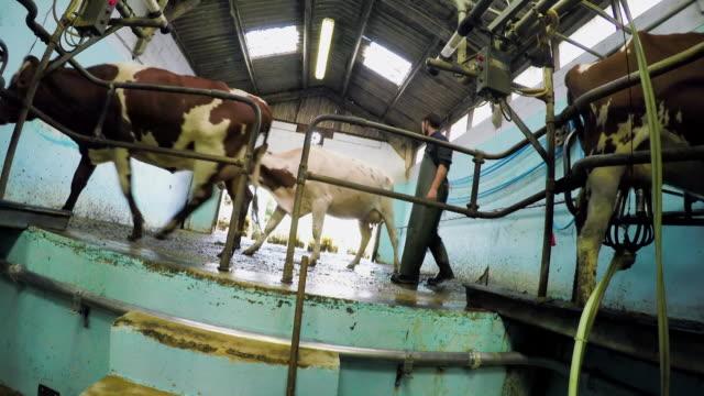 stockvideo's en b-roll-footage met farm worker and cows - vier dieren