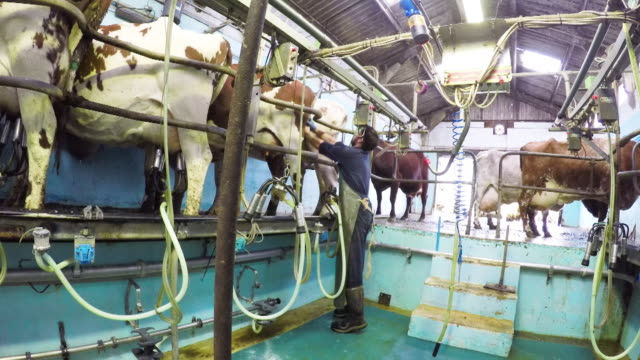 farm worker and cows - milking stock videos & royalty-free footage