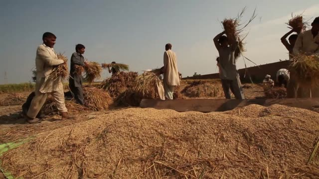 a farm worker cuts rice with a sickle during a crop harvest in bucheki village in the district of faisalabad in punjab pakistan on saturday oct 12... - punjab pakistan stock videos and b-roll footage