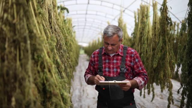 bracciatore agricolo esamina piante di canapa secca in casa verde - canapa video stock e b–roll