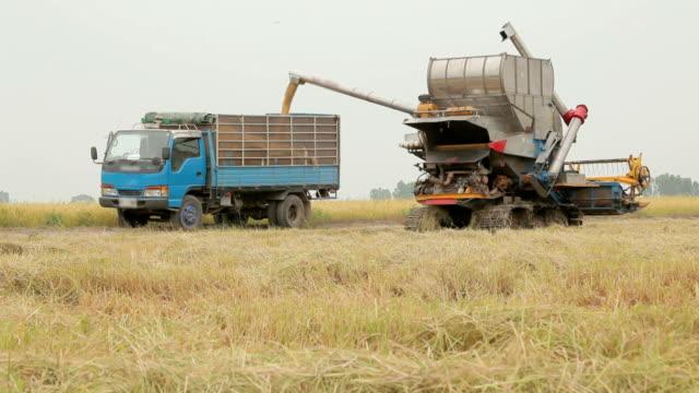lavoratore agricolo raccolta di riso con combinazione di - paglia video stock e b–roll