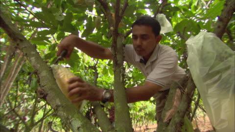 vídeos y material grabado en eventos de stock de a farm worker harvests cacao fruits. - campesino