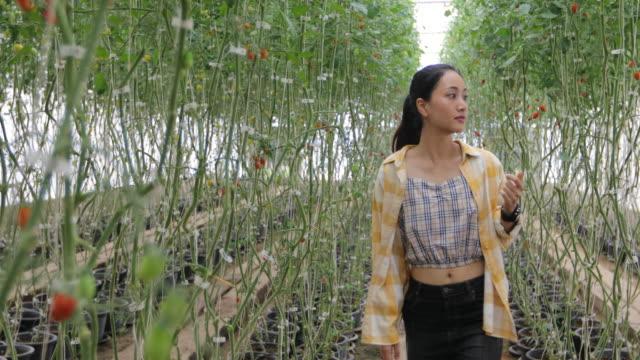 farm worker harvetsing tomatoes from organic garden