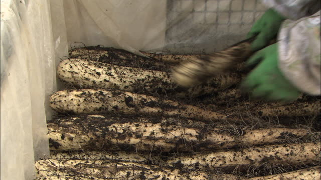 a farm worker piles harvested chinese yams into a bin. - 農作業点の映像素材/bロール