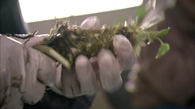 a farm worker trims leaves from wasabi roots. - wasabi stock videos and b-roll footage