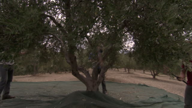farm workers beat the olive trees so the ripe olives will fall onto tarps on the ground. - 園芸学点の映像素材/bロール