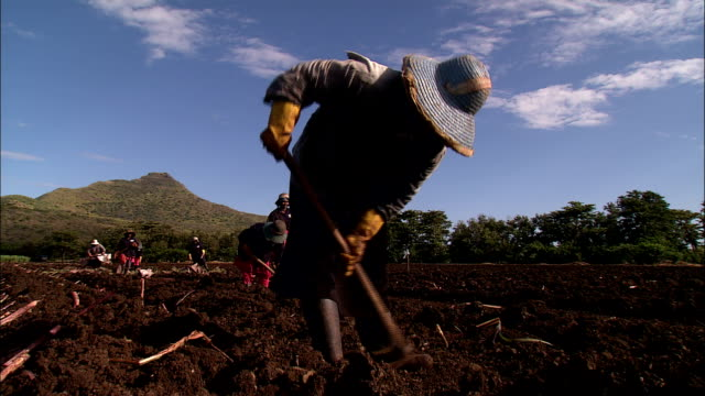 farm workers dig at a sugarcane plantation. - lavoratore agricolo video stock e b–roll