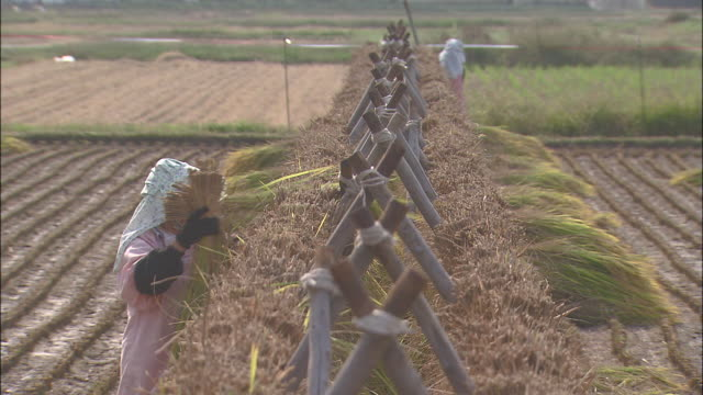 farm workers hang sheaves of rice on drying racks. - drying rack stock videos and b-roll footage