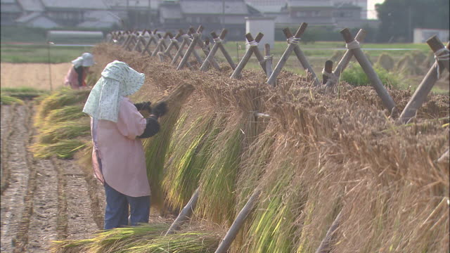 farm workers hang sheaves of rice over drying racks. - drying rack stock videos and b-roll footage