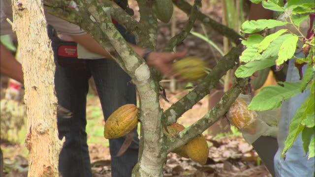 vídeos y material grabado en eventos de stock de farm workers harvest cacao fruits. - campesino