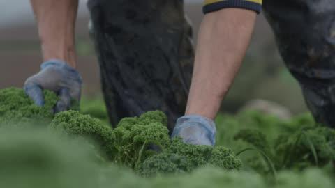 farm workers harvest kale on vegetable farm, devon, england - gröda bildbanksvideor och videomaterial från bakom kulisserna