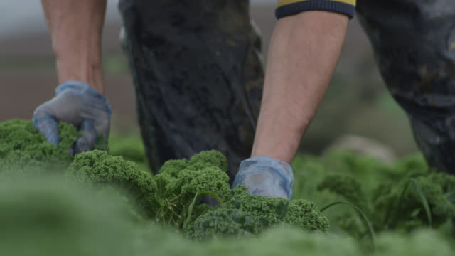 Farm workers harvest kale on vegetable farm, Devon, England