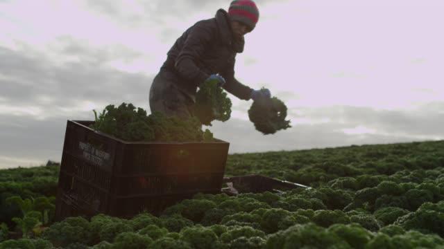 farm workers harvest kale on vegetable farm, devon, england - harvesting stock videos & royalty-free footage