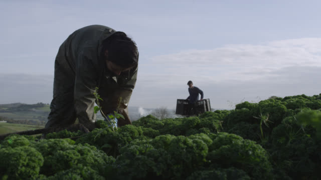 farm workers harvest kale on vegetable farm, devon, england - devon stock videos & royalty-free footage