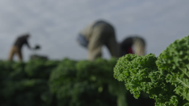 farm workers harvest kale on vegetable farm, devon, england - kale stock videos and b-roll footage
