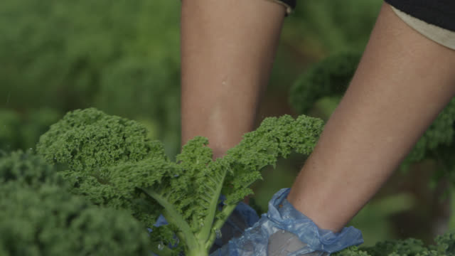 Farm workers harvest kale on vegetable farm, Devon, England