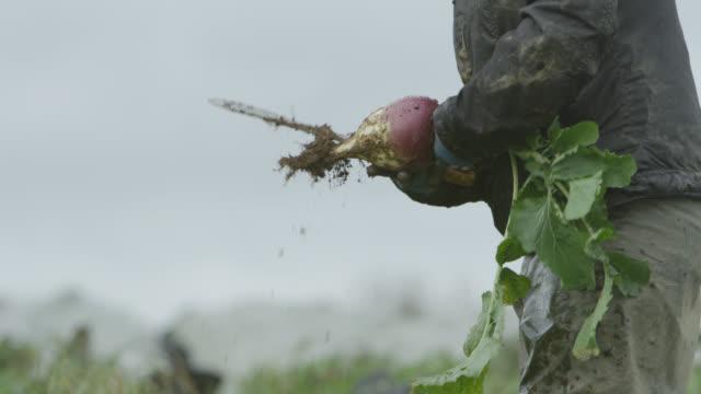 farm workers harvest swedes on vegetable farm, devon, england - harvesting stock videos & royalty-free footage