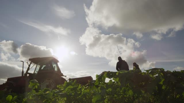 Farm workers harvest swedes on vegetable farm, Devon, England