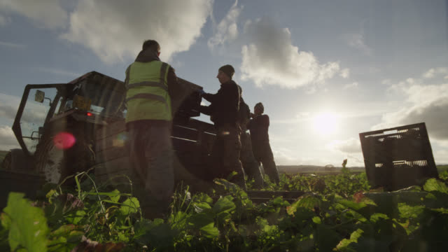 Farm workers harvest swedes on vegetable farm, Devon, England