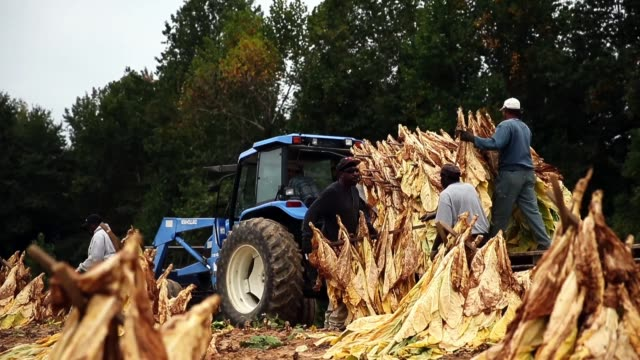 farm workers harvest tobacco leaves to they can be hung and dried inside a barn october 3, 2014 in owings, maryland. tobacco has been grown on the... - tobacco crop stock videos & royalty-free footage