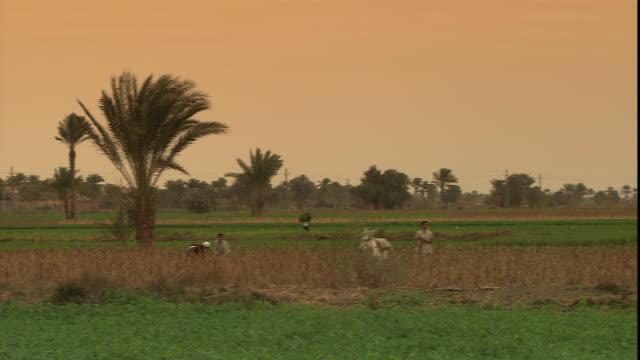 farm workers labor and cattle graze in fields near the pyramid of sneferu. - cultura egiziana video stock e b–roll