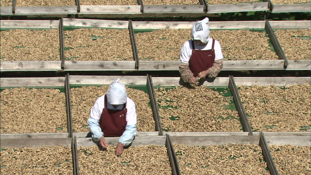 farm workers pull the roots from drying peanuts. - peanut food stock videos and b-roll footage