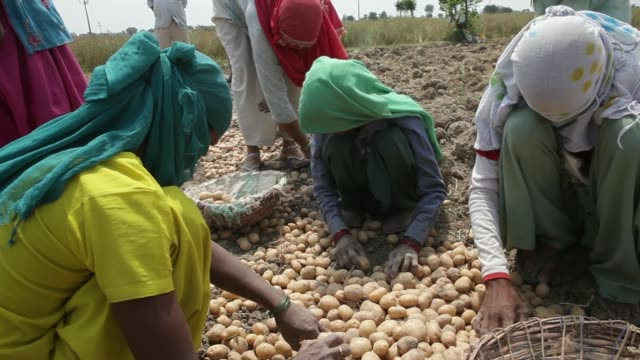 farm workers sort potatoes into baskets on a farm on the outskirts of meerut uttar pradesh india on monday april 14 farm workers collect potatoes... - uttar pradesh stock videos and b-roll footage