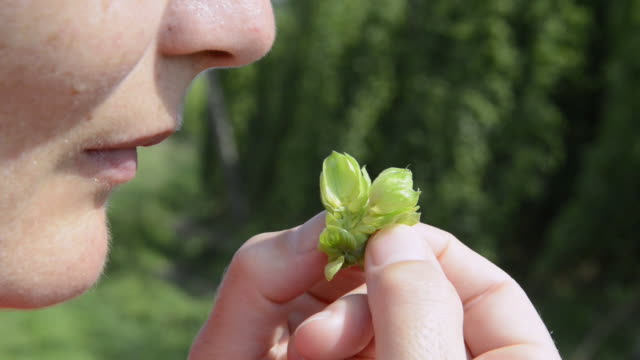 cu farmar smelling hop fruit for quality check / mainburg, bavaria, germany - smelling stock videos & royalty-free footage