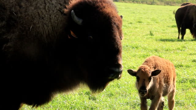 farmed bison grazing - livestock tag stock videos and b-roll footage