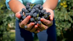 Farmer Agronomist Hands Holding Handful Of Ripe Black Grapes Shows In The Camera