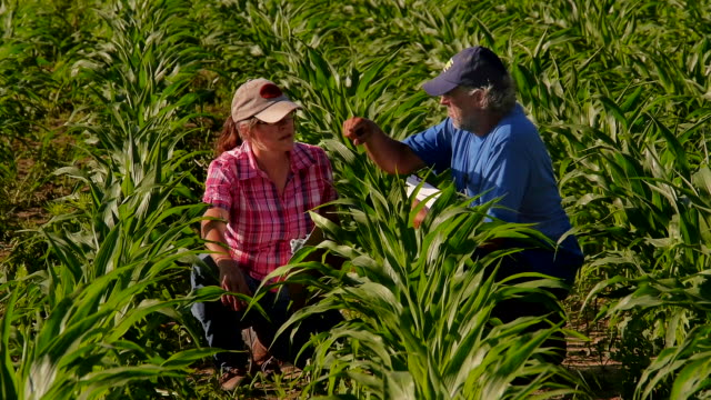 farmer and aggricultural consultant talk in ripening gmo corn field. - genetic modification stock videos & royalty-free footage
