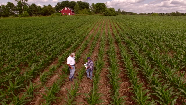 farmer and his son inspect plants in ripening field of corn - midwest usa stock videos & royalty-free footage