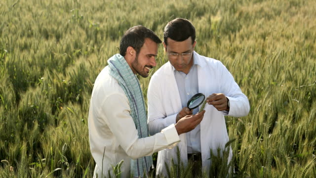 ms cs farmer and scientist examining ear of wheat with magnifying glass in field / samalkha, haryana, india - ear of wheat stock videos and b-roll footage