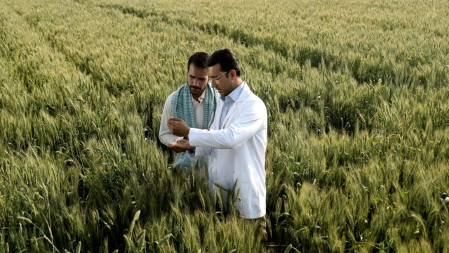 vídeos de stock, filmes e b-roll de ws cs farmer and scientist examining wheat grains while standing in a field / samalkha, haryana, india - neckwear