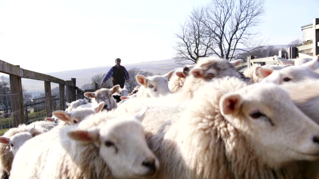 farmer and sheepdog herding sheep - sheep stock videos & royalty-free footage