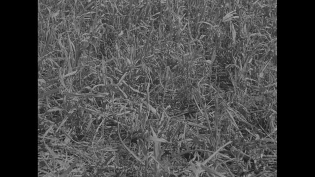 farmer and son standing in field / cu stunted oats / boy in overalls walks toward camera squats and runs hand over oats / note exact day not known - dust bowl stock videos and b-roll footage