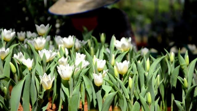Boer en witte tulpen