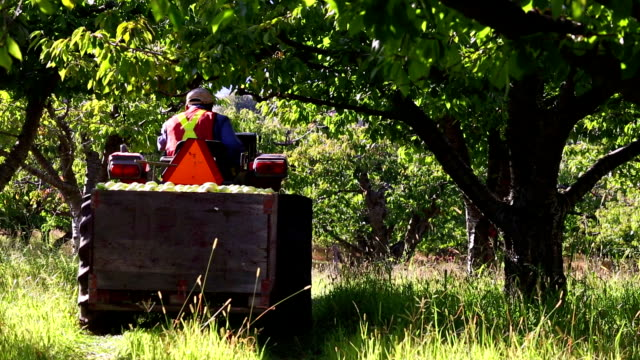 farmer apple orchard - orchard stock videos & royalty-free footage