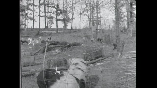 farmer approaches pig pen followed by dogs - 1961 stock videos & royalty-free footage