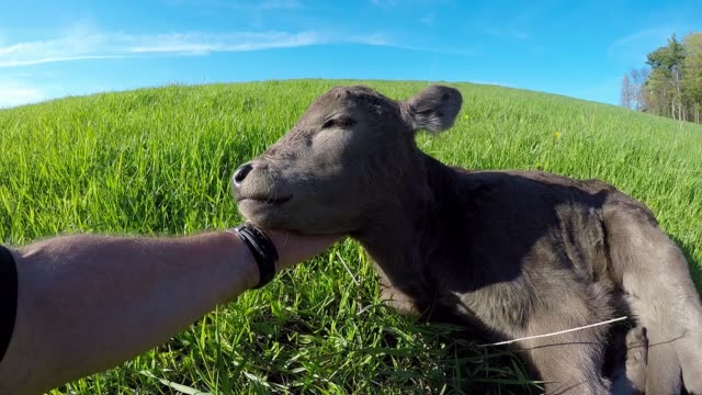 farmer asks neighbor to babysit cows, so he takes it to the extreme - female animal stock videos & royalty-free footage