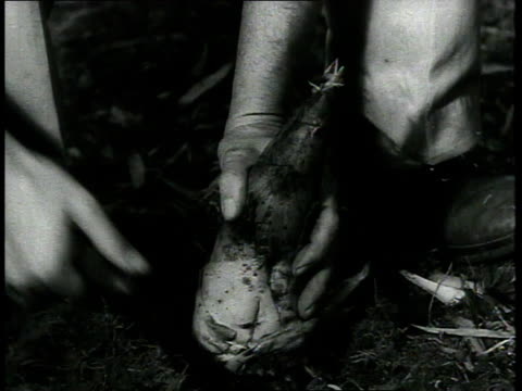 1939 cu farmer at barbour lathrop plant farm cuts off a bamboo bud at ground level / savannah, georgia - bamboo shoot stock videos & royalty-free footage