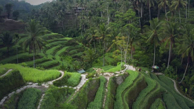 farmer at tegallalang rice terrace - reportage stock videos & royalty-free footage